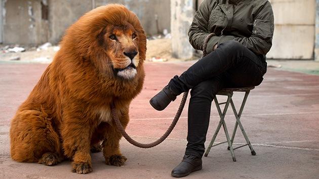 Un zoo chino 'disfrazaba' perros y ratas de leones y reptiles-leondistrazado.jpg