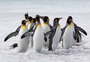 ¿Por qué no hay Pingüinos en el Polo Norte?-pinguinos-rey.jpg